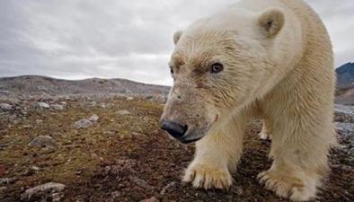 """""""熊眼""""看世界 研究北極熊"""