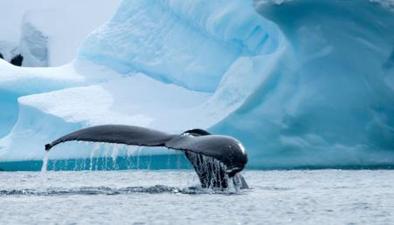 南極科考:科學家近距離觀測到大量鯨魚