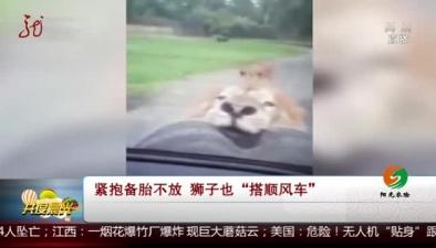 """緊抱備胎不放 獅子也""""搭順風車"""""""