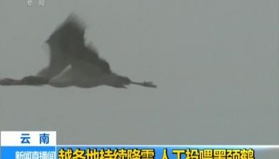雲南:越冬地持續降雪 人工投喂黑頸鶴