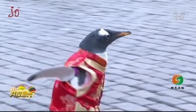 """""""逃學""""小企鵝 漫步中央大街迎新年"""
