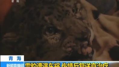 青海:雪豹遭遇車禍 傷情反復送京治療