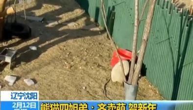 遼寧沈陽:熊貓四姐弟齊賣萌 賀新年