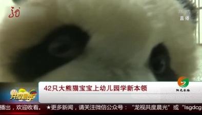 42只大熊貓寶寶上幼兒園學新本領
