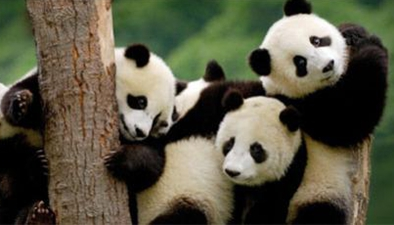 日本:全球熊貓送福來和歌山下送祝福 熊貓家族故事多