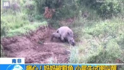 南非:痛心!媽媽被割角 小犀牛試圖叫醒