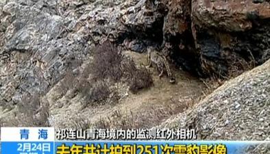 青海祁連山青海境內的監測紅外相機:去年共計拍到251次雪豹影像