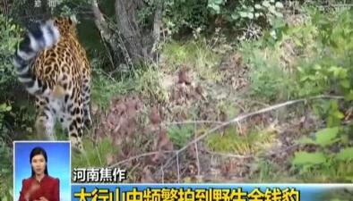 河南焦作:太行山中頻繁拍到野生金錢豹