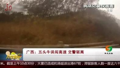 廣西:五頭牛誤闖高速 交警驅離