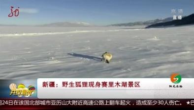新疆:野生狐狸現身賽裏木湖景區