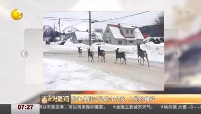 野生鹿群過馬路守交規 人類的榜樣