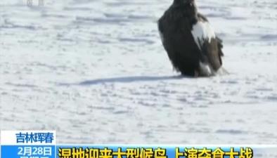 吉林琿春:濕地迎來大型候鳥 上演奪食大戰