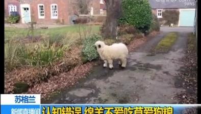 蘇格蘭:認知錯誤 綿羊不愛吃草愛狗糧