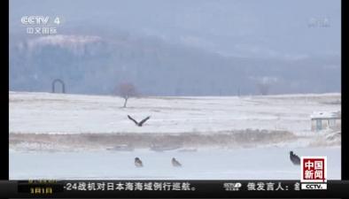 吉林琿春:濕地迎來珍稀候鳥 爭奪覓食