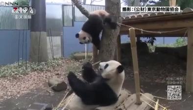 旅日大熊貓香香9月大 活潑好動惹人愛