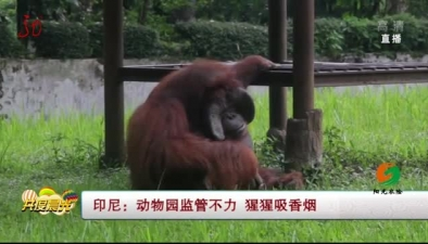 印尼:動物園監管不力 猩猩吸香煙