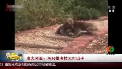 澳大利亞:兩只雄考拉大打出手