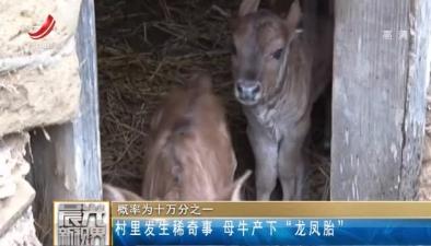 """概率為十萬分之一:村裏發生稀奇事 母牛産下""""龍鳳胎"""""""