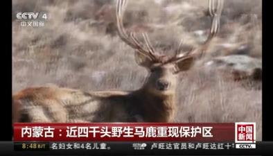 內蒙古:近四千頭野生馬鹿重現保護區