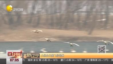 大批白天鵝飛臨錦州