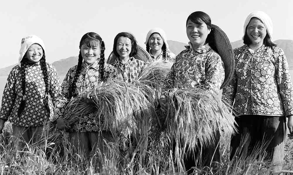 浙江省螞蟻島人民公社女社員收獲大麥。