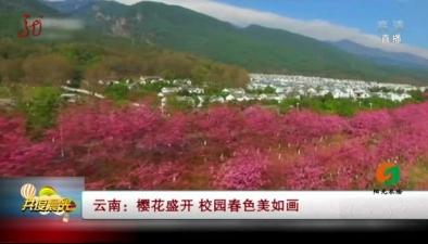 雲南:櫻花盛開 校園春色美如畫
