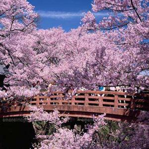 日本櫻花季到來