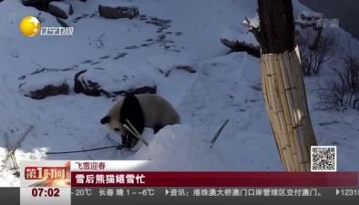 飛雪迎春:雪後熊貓嬉雪忙