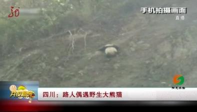 四川:路人偶遇野生大熊貓