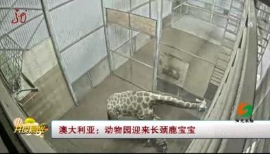 澳大利亞:動物園迎來長頸鹿寶寶