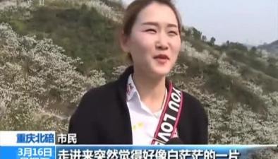 重慶北碚:兩千畝李花綻放 遊人徜徉美景