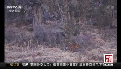 青海三江源:管護員用相機拍攝到金錢豹