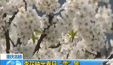 """重慶北碚:李花映出春日""""雪""""景"""