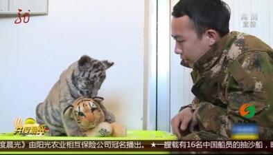 """遼寧沈陽:幼虎遭棄養 """"奶爸""""來幫忙"""