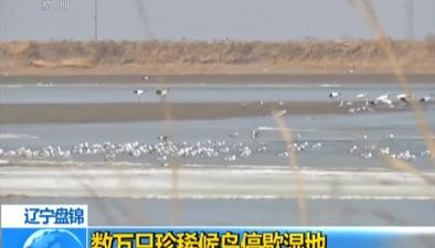 遼寧盤錦:數萬只珍稀候鳥停歇濕地