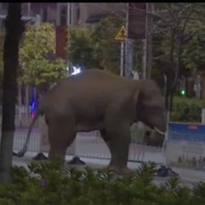 野生亚洲象夜闯云南普洱市区 当地启动应急预案