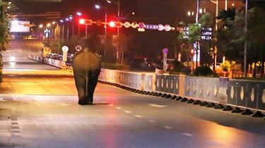 云南普洱成功控制入城野象