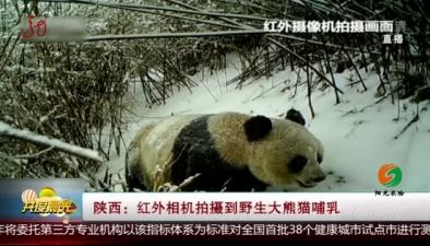陕西:红外相机拍摄到野生大熊猫哺乳