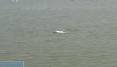 福建晉江:海巡人員近距離拍攝白海豚活動