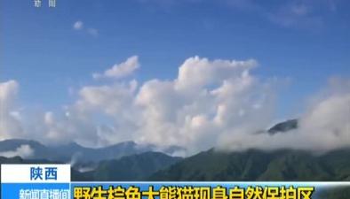 陜西:野生棕色大熊貓現身自然保護區
