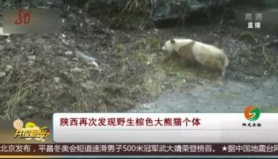 陜西再次發現野生棕色大熊貓個體