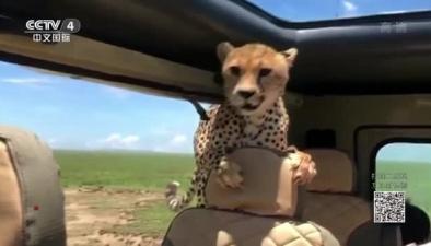 非洲:獵豹跳進車 乘客不敢動
