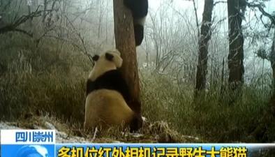 四川崇州:多機位紅外相機記錄野生大熊貓