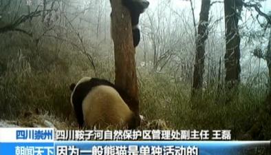 四川崇州:種群壯大 母子熊貓多次同框