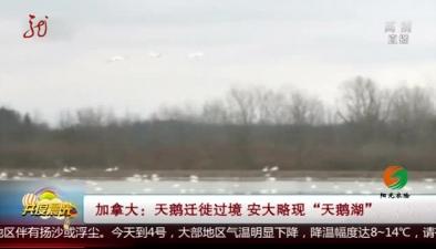 """加拿大:天鵝遷徙過境 安大略現""""天鵝湖"""""""
