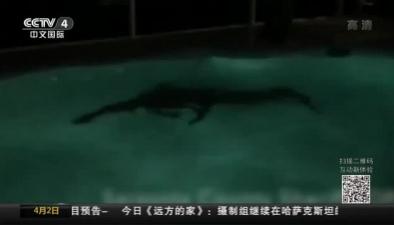 美國短吻鱷藏身居民遊泳池