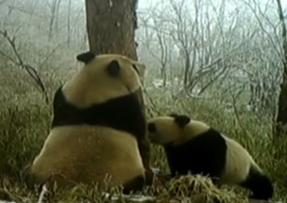 四川:多機位紅外相機記錄野生大熊貓