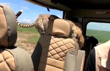 坦桑尼亞獵豹南非白獅 跳進觀光車找樂
