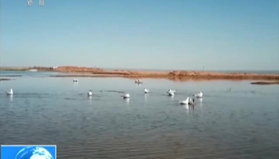 陜西榆林:紅鹼淖濕地保護區迎來北遷遺鷗