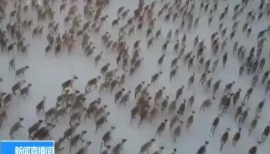 加拿大:壯觀!3200頭野生馴鹿大遷徙